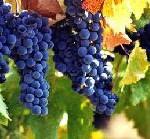 Das Trentino feiert seine Weine: Winzer- und Traubenfeste rund um die edlen Tropfen