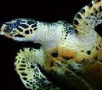 Meeresschildkröten in Costa Rica schützen