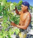 Wein aus der Südsee? Rangiroa macht's möglich!