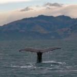 Whale Watching – Die Riesen der Meere entdecken