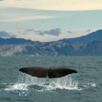 Wale vor Hawai'i