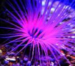 Palma Aquarium setzt erfolgreich auf Reproduktion von Korallen