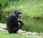 Erfolgreiches Schimpansen-Auswilderungsprogramm in Gambia