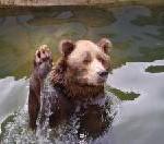 Dicke Fische und große Bären: Bären beim Lachsfang in Alaska beobachten