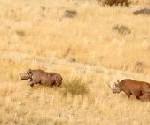 """Namibia: Die Rückkehr der """"Rhinos"""""""