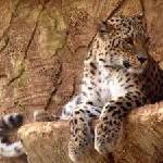 Eintauchen in die Welt der Leoparden