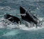 Auf Augenhöhe mit Buckel- und Zwergwalen