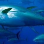 Palma Aquarium: Rettet den roten Thunfisch