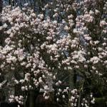 Frühlingserwachen im weißen Blütenmeer