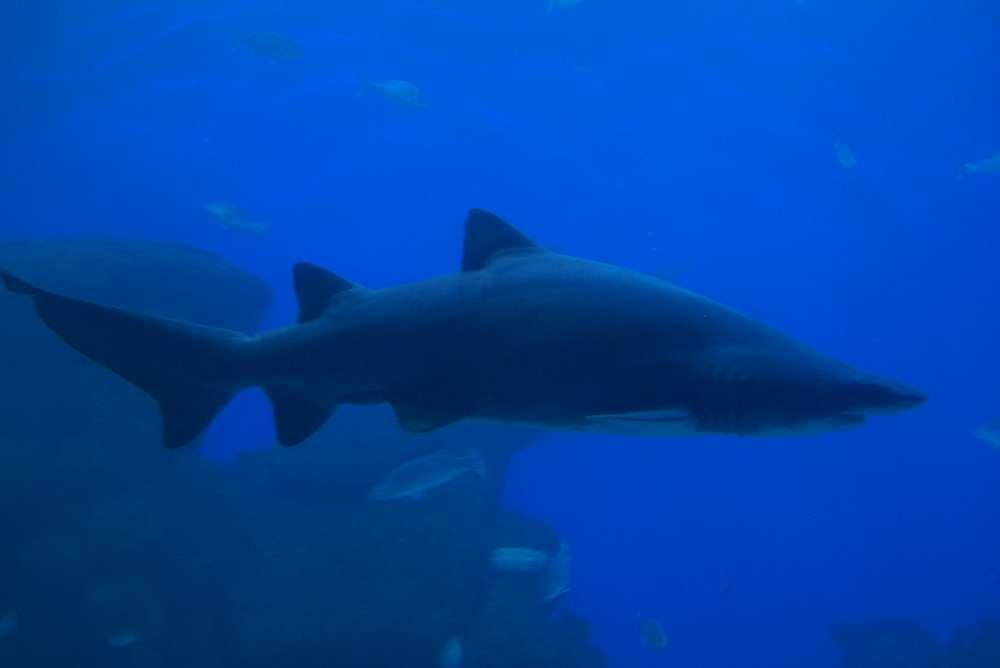 Overtourism ist Gefahr für den Weißen Hai