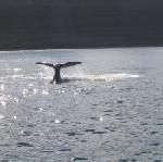 Australien: Die Wale kommen