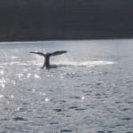 Im April beginnt wieder die Saison der Schwertwale im Nordwesten der USA