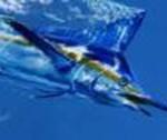 Findet Marlin! Curaçao Angel-Wettbewerb feiert 40-jähriges Bestehen