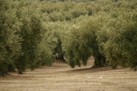 Jaén - Olivenbaumplantagen