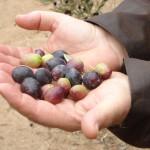 Olivenöl-Schummel: Ungereimtheiten bei Qualität und Herkunft