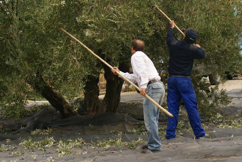Finca Cortijo el Madrono: Olivenernte