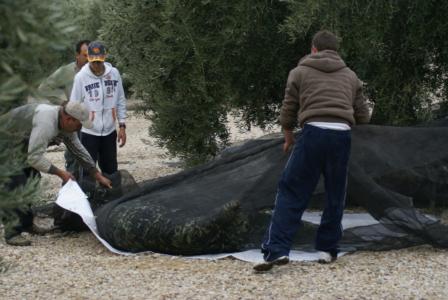 Olivenernte auf der südspanischen Finca Cortijo el Madrono