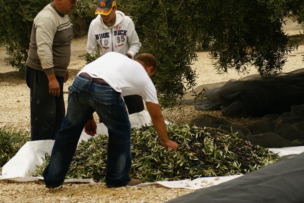 Olivenernte auf der Finca Cortijo el Madrono