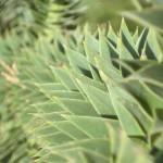 Aloe-Vera-Anbau auf Lanzarote: Kosmetikerlebnis im Urlaub