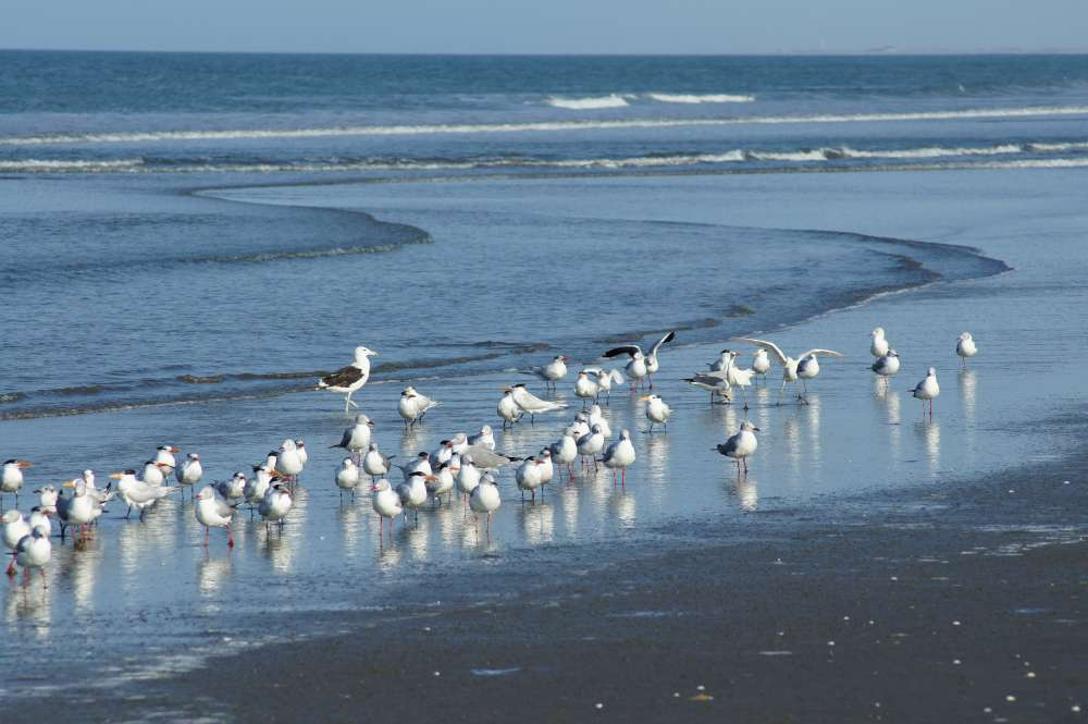Alle Vögel sind noch da … in Cuxhaven: Neun Tage lang finden im Nationalpark Niedersächsisches Wattenmeer die Zugvogeltage statt